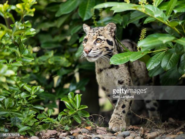 a clouded leopard cub coming out of some bushes. - clouded leopard stock photos and pictures