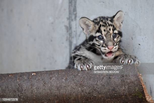 A clouded leopard cub is pictured on September 17 2018 at the Mulhouse zoo