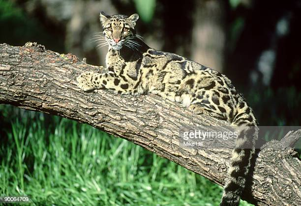 clouded leopard: neofelis nebulosa  in tree  wildlife model - clouded leopard stock photos and pictures