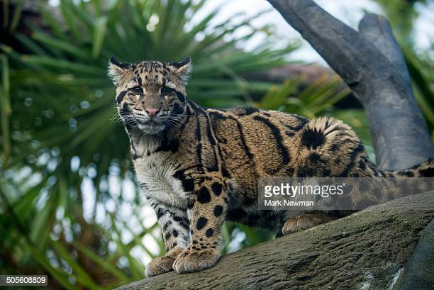 clouded leopard, neofelis nebulosa - clouded leopard stock photos and pictures