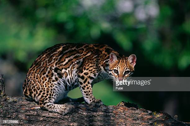 clouded leopard on tree branch - clouded leopard stock photos and pictures