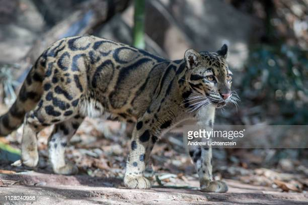 A clouded leopard paces in its enclosure on February 1 2019 at the Atlanta zoo in Atlanta Georgia