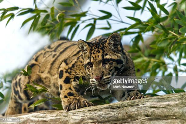 clouded leopard (neofelis nebulosa) - clouded leopard stock photos and pictures