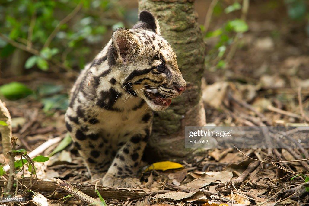 Clouded Leopard (Neofelis Nebulosa) : Stock Photo
