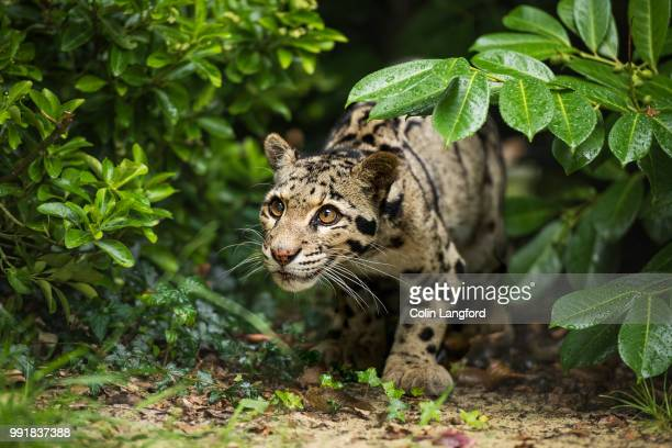 clouded leopard series - clouded leopard stock photos and pictures