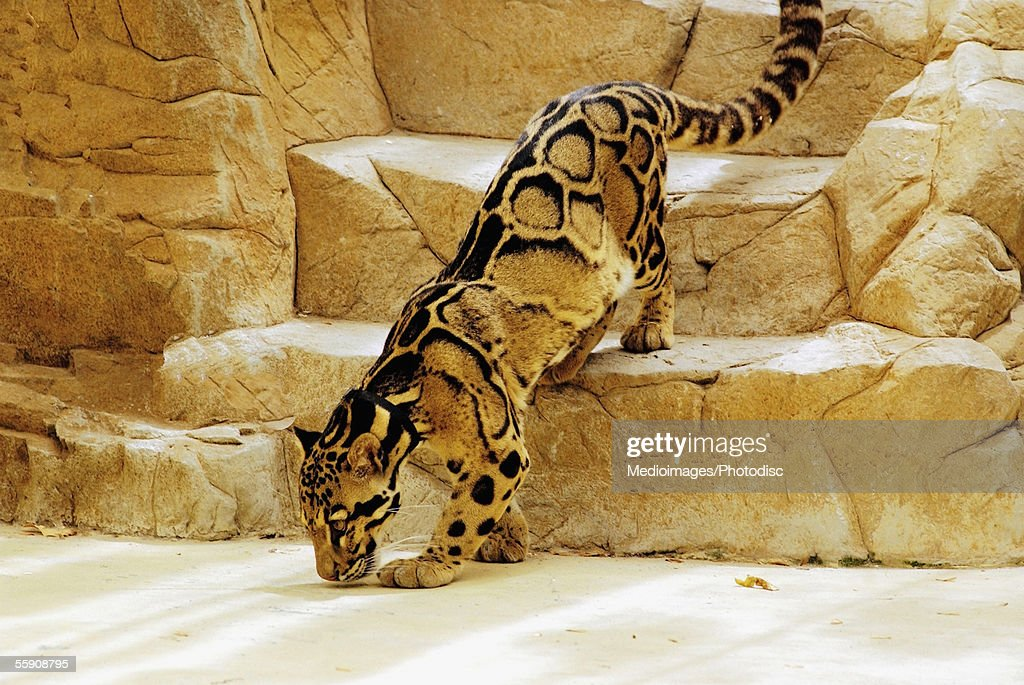 Clouded Leopard stepping down the steps of an enclosure in a zoo (Acinonyx jubatus) : Stock Photo