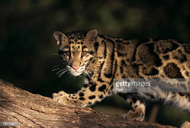 clouded leopard walking on tree branch - clouded leopard stock photos and pictures