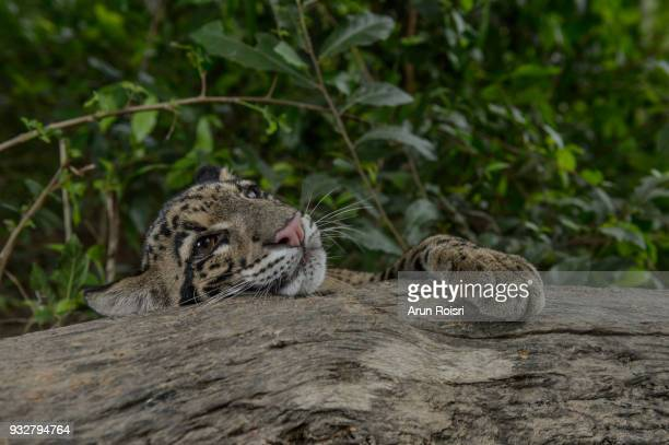 Clouded leopards live in forests at elevations of up to 8,000 feet and spend much of their lives in trees.