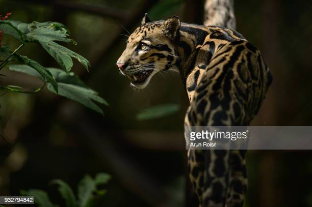 clouded leopards live in forests at elevations of up to 8,000 feet and spend much of their lives in trees. - clouded leopard stock photos and pictures