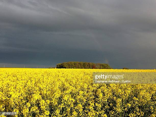 Clouds over rapeseed field