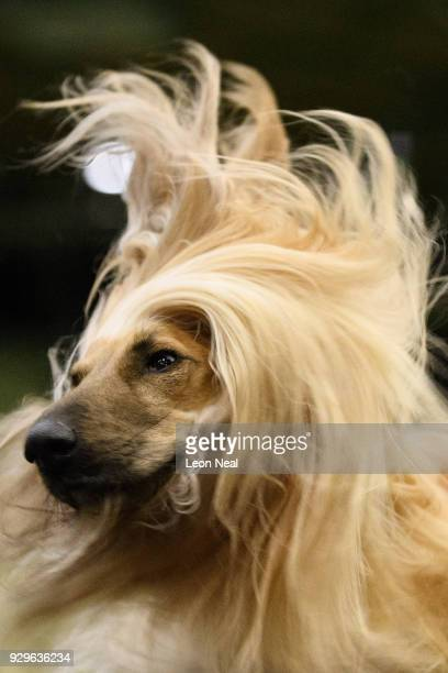 Cloudside Music Maker the Afghan Hound shakes his head as he's groomed ahead of competition on day two of the Cruft's dog show at the NEC Arena on...