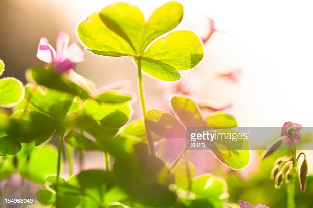 clover and flower in spring - st patricks day stock pictures, royalty-free photos & images