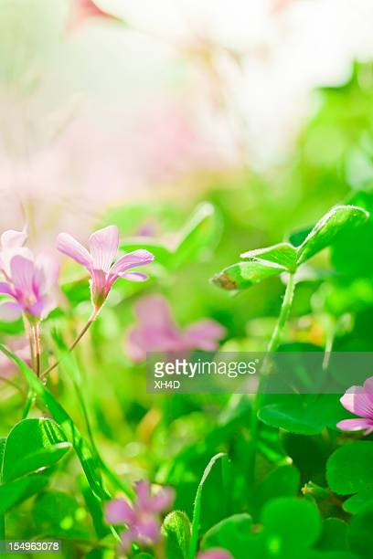 clover and flower in spring