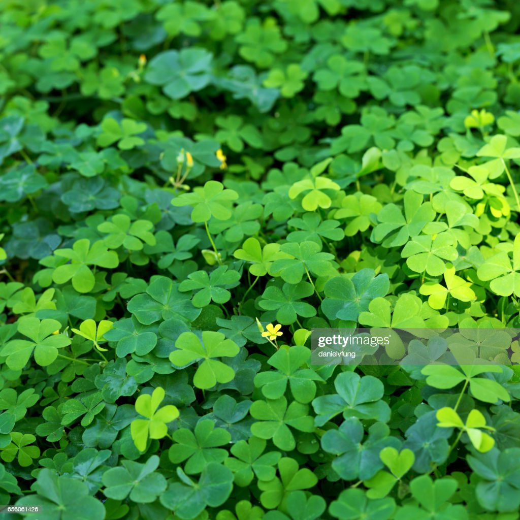 Clover And Little Yellow Flower Stock Photo Getty Images