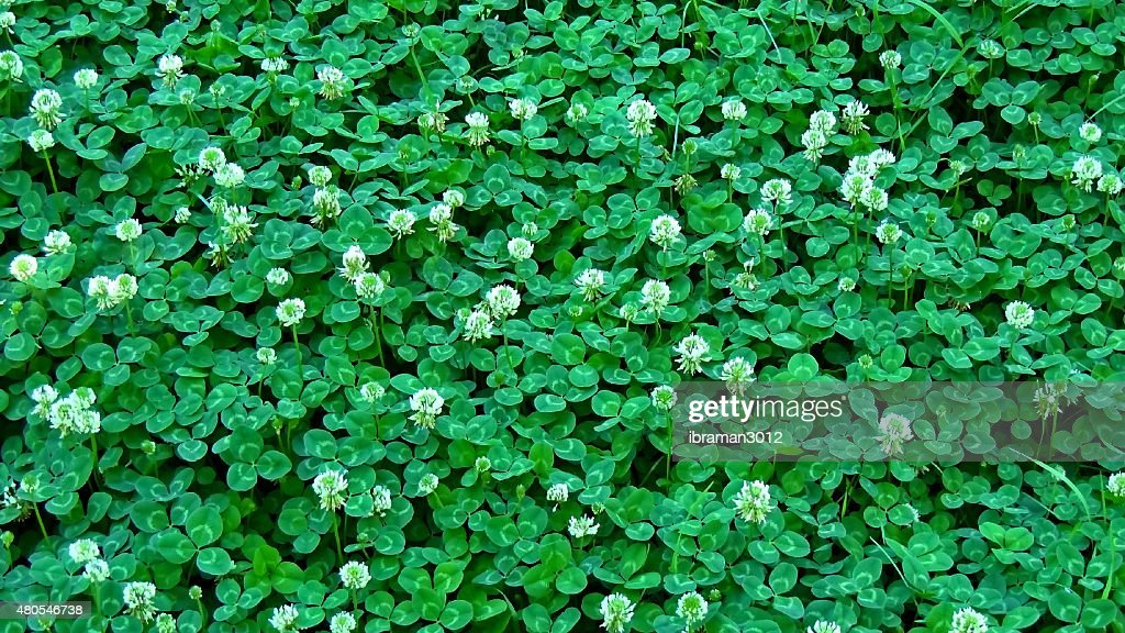 Clover,  backgrounds : Stock Photo