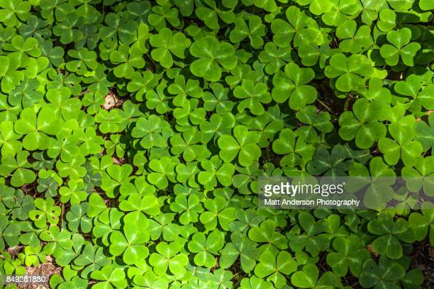 clover close up - st patricks background stock pictures, royalty-free photos & images