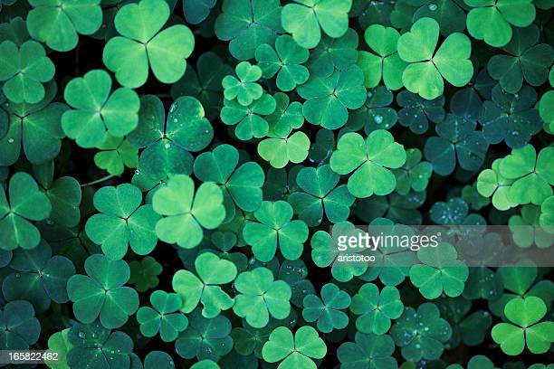clover field background - st patricks day stock pictures, royalty-free photos & images