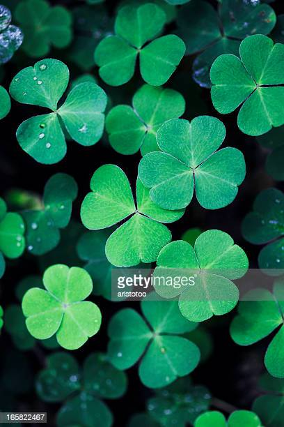 clover field background - st patricks background stock pictures, royalty-free photos & images