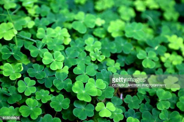 clover field background - four leaf clover stock pictures, royalty-free photos & images