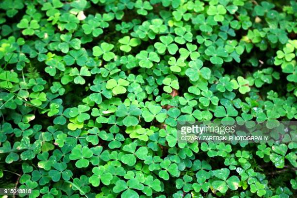 Clover Field Background