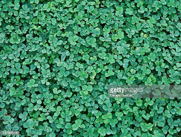 clover field - clover stock photos and pictures
