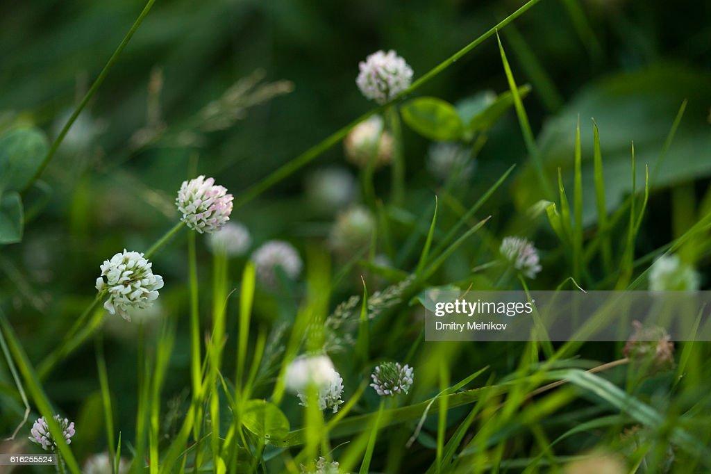 Clover flower in a grass. : Stock Photo