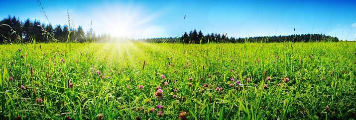 Clover flowers field in sunset. 1097307450