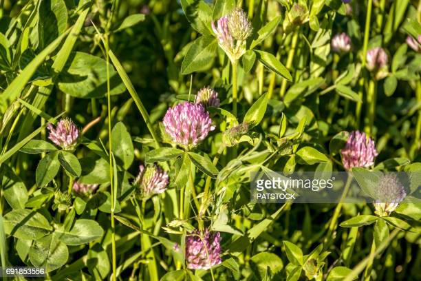 clover flowers - clover stock photos and pictures