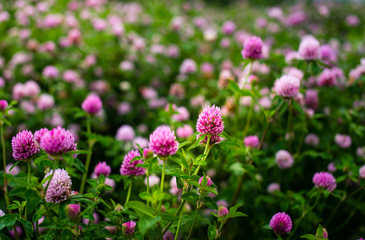 Clover flowers, Trifolium Pratense, outside in a field 822428936