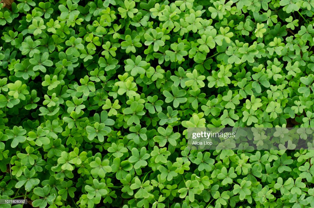 Clover full frame : Stock Photo