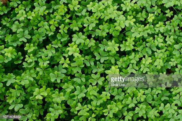 clover full frame - clover stock photos and pictures