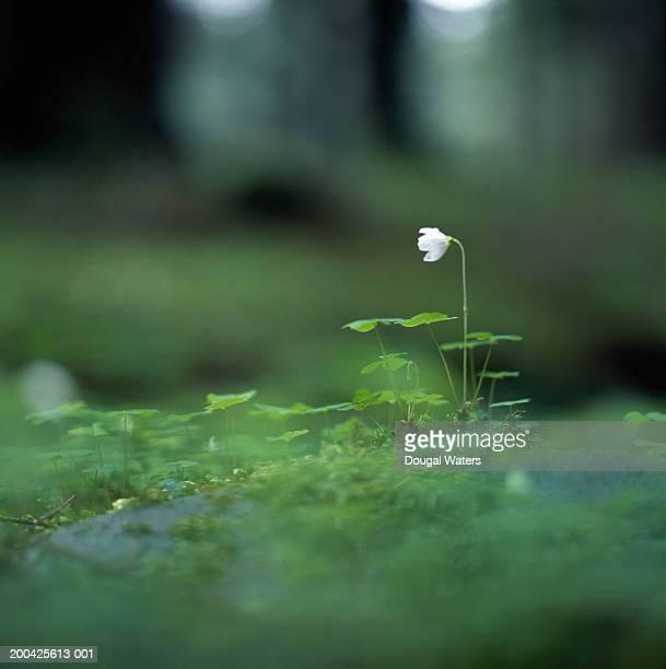 Clover (Trifolium repens) in woodlands, close-up