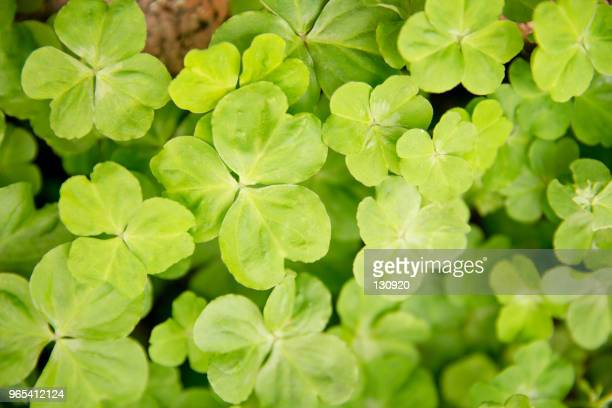 clover leaf - st patricks background stock pictures, royalty-free photos & images