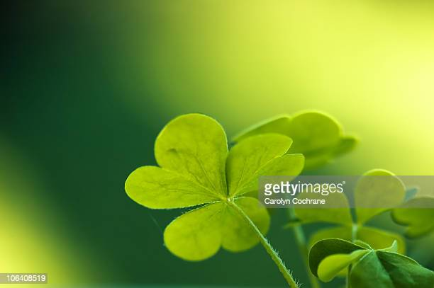 clover - clover stock photos and pictures