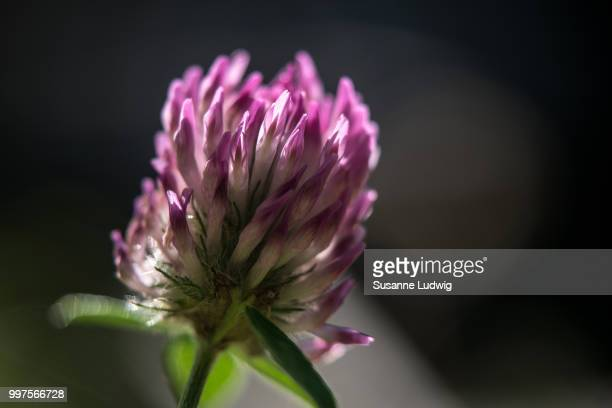 clover - susanne ludwig stock pictures, royalty-free photos & images