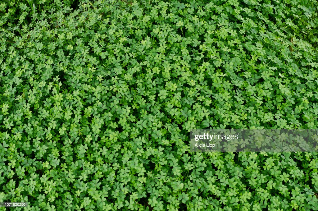 Clover top view : Stock Photo