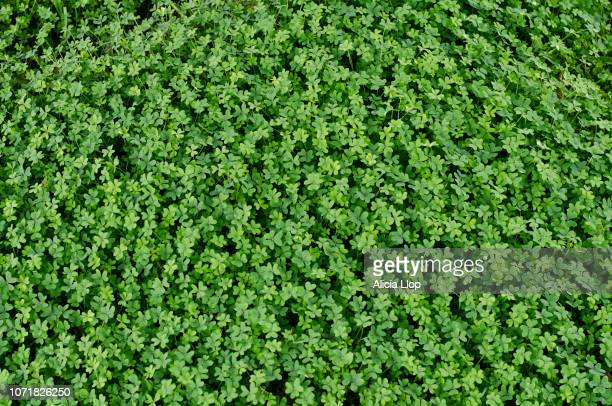 clover top view - st patricks background stock pictures, royalty-free photos & images
