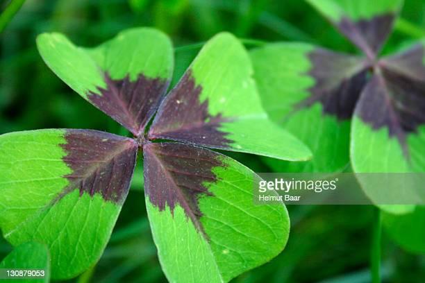 clover with four leafs, (trifolium) - 4 leaf clover stock-fotos und bilder