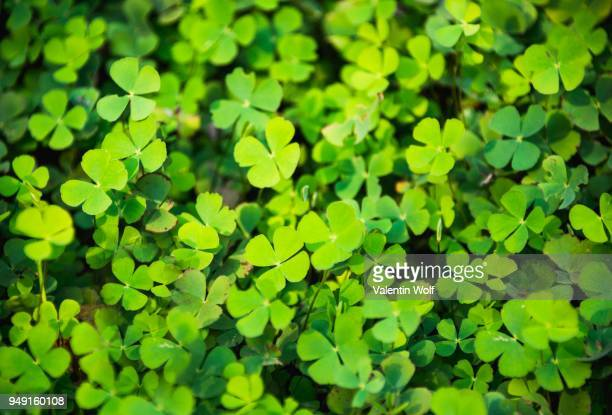 Clover with four leaves in a meadow, four-leaf clover, Cambodia