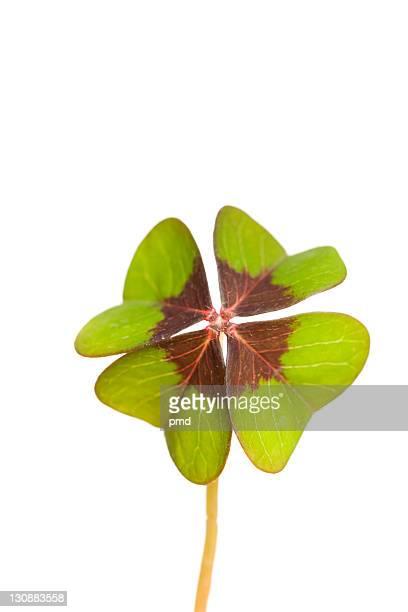 cloverleaf - 4 leaf clover stock-fotos und bilder