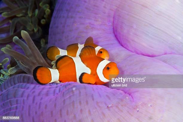 Clown Anemonefish Amphiprion ocellaris Triton Bay West Papua Indonesia
