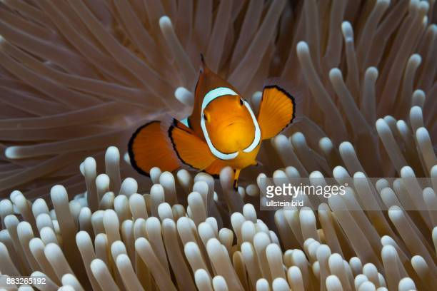 Clown Anemonefish Amphiprion percula Great Barrier Reef Australia