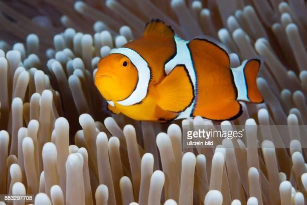 Clown Anemonefish Amphiprion percula Osprey Reef Coral Sea Australia