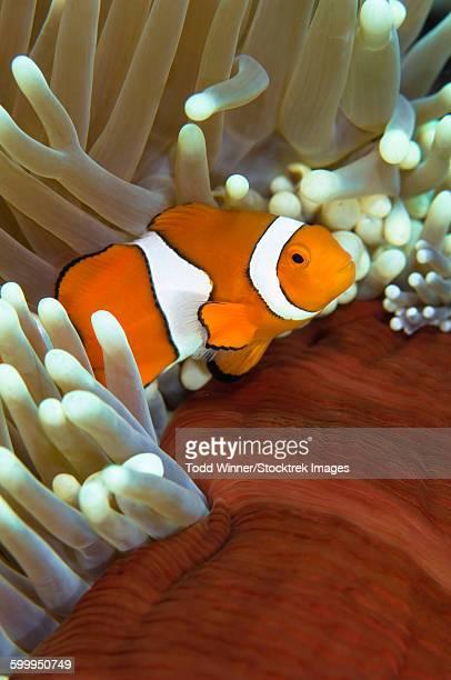 Clown anemonefish in anemone, Great Barrier Reef, Australia.
