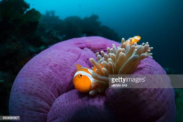Clown Anemonefish in Magnificent Sea Anemone Amphiprion ocellaris Heteractis magnifica Cenderawasih Bay West Papua Indonesia