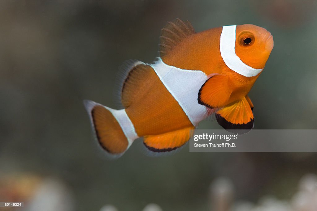Clown Anemonefish (Amphiprion ocellaris) : Stock Photo