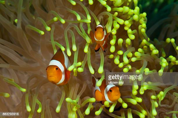 Clown Anemonefishes Amphiprion ocellaris Bali Indonesia