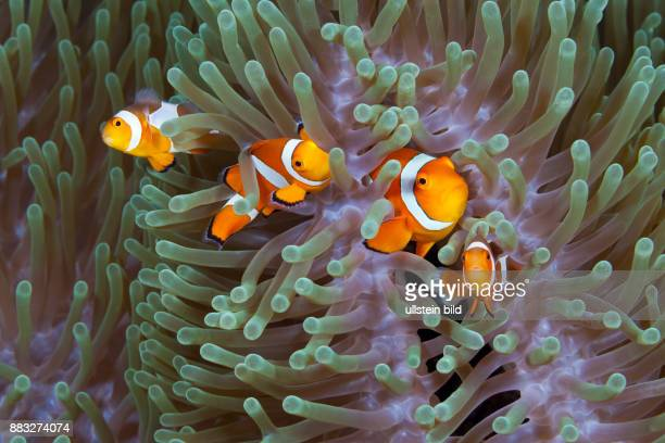 Clown Anemonefishes Amphiprion ocellaris Komodo National Park Indonesia