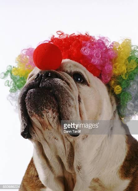 Clown bulldog
