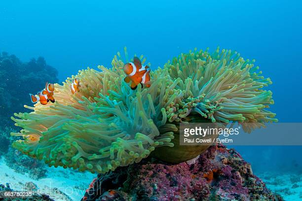 Clown Fish And Anemone Undersea